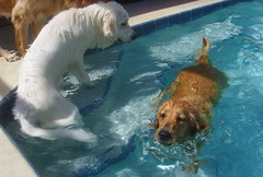 CPS Pool 1 (PolothePup) Tags: dogs pool swim goldenretriever greatpyrenees