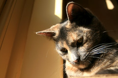 Bella 01 copy (red snapper 205) Tags: light sun cat fur thought fluffy tortoiseshell whiskers