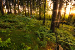 + forest_glow (david.richter) Tags: wood light summer orange fern grass forest canon germany deutschland eos rebel warm europa europe raw glow saxony spiderweb sachsen clover spruce xsi beforesunset superwideangle erzgebirge singleexposure ishootraw oremountains nohdr nonhdr 450d fairytalewoods rebelxsi tokina1116mmf28atx116prodx proudlypresentedbyskeetersngnatsltd germanybest