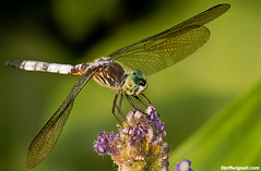 Dragonfly #2 (Jeff Wignall) Tags: summer macro green closeup wings eyes nikon dragonfly connecticut insects ponds pickerelweed wignall d90 70300mmnikkor photocontesttnc10