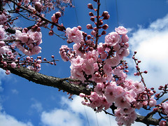 It's been a gorgeous day! (Lulybelle) Tags: pink warm blossom bluesky lunchbreak smorgasbord whitefluffyclouds springisontheway stillwinter gununeniyisi