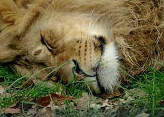 Lion Sleeping (.annajane) Tags: sleeping lion león leão safaripark knowsley pantheraleo knowsleysafaripark