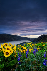 Tick-field (Lance Rudge) Tags: nature oregon sunrise nikon wildflowers tick columbiarivergorge rowena lancerudge