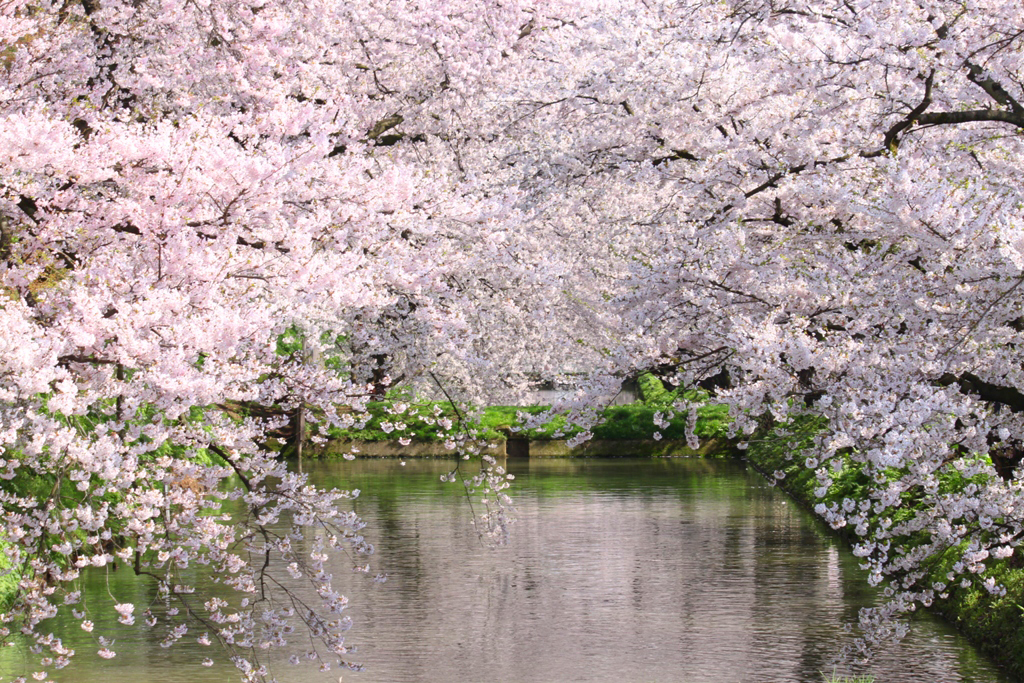 Hirosaki Park Sakura (1)