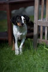 Bodhi (TwistedRidge) Tags: sun dogs grass vancouver puppy fun puppies greeneyes karma stanleycup bodhi portmoody catahoula leoparddog cunuks