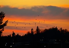 A Good Omen (Irene, Montreal, QC) Tags: sunset sky sunlight birds skyline clouds sunsets redsky crows sunsetclouds darkclouds pinkclouds birdsofafeather birdwatch redclouds sunsetskies allnature allclouds roostingcrows sunsetoutlines crowsflyinghome