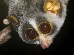 Roter Schlanklori / Red Slender Loris (Loris tardigradus) (Sexecutioner) Tags: red portrait cute nature animal animals digital canon germany deutschland zoo colorful hessen frankfurt wildlife natur primate 2009 loris slender affen affe frankfurterzoo primat primaten tardigradus schlanklori nachttierhaus noctarium loristardigradus specanimal grzimekhaus slenderloris roterschlanklori feuchtnasenaffen redslenderloris nachttier nachttiere copyrightsexecutioner slankelori lorisgrle lorisfino spensliglori