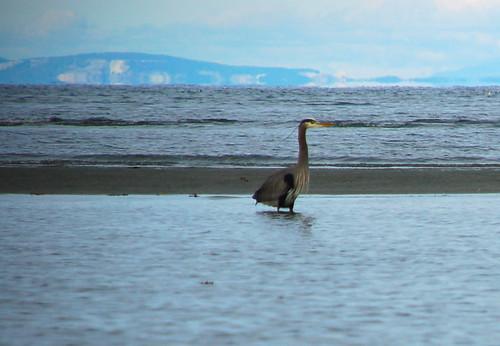 Surf heron