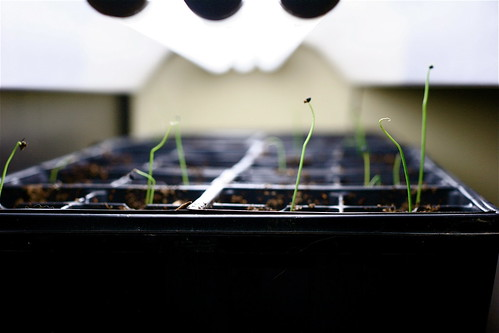 Onion Seedlings under Lights