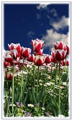 We Are All Reaching Up In Our Own Way... (Kuzeytac) Tags: life park pink blue light red sky cloud white flower color colour green nature turkey garden geotagged leaf angle postcard türkiye turkiye istanbul best tulip daisy bud bahçe geotag beyaz mavi leyla bestofthebest hayat bulut gökyüzü çiçek yeşil lsi papatya ışık lale gulhane fotoğraf kırmızı renk doğa tabiat renkler pembe fantasticflower canoneos400d canoneosdigitalrebelxti kuzeytac ✿beautiflower✿