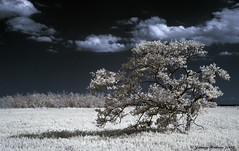 (ir guy) Tags: sky tree canon ir nationalpark florida everglades infrared colorinfrared 30d supershot addictedtoflickr mywinners platinumphoto wwwirvisionscom vosplusbellesphotos reflectyourworld
