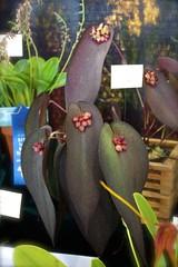 Pleurothallis (Acronia) cyanea (joeysplanting) Tags: orchid orchidaceae poe pleurothallis pacificorchidexposition acronia pleurothalliscyanea poe2009 pacificorchidexposition2009 acroniacyanea