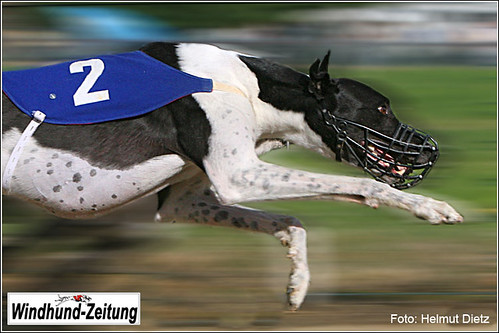 Greyhound Xerxes