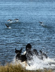 AND STAY OUT! (Runs with Poodles) Tags: ocean dog white black water oregon bay duck pacific hamilton canine pacificocean tuxedo spoo poodle pacificnorthwest briggs griffen standardpoodle coosbay northbend surfscoter particolor partipoodle thelittledoglaughed northspit haynesinlet