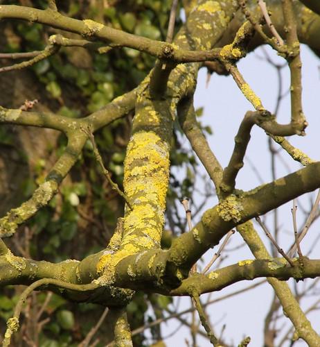 Lichen on Ash Tree branch