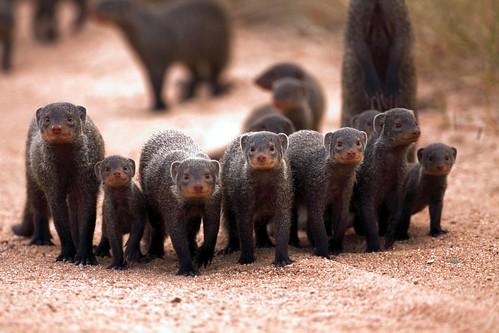 Banded Mongoose (Mungos mungo) Gebande Muishond