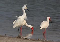 Get out of my feeding grounds! (hank the elder) Tags: feeding florida ibis egret whiteibis snowyegret displaying dingdarling
