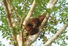 wild orangutan on the Kinabatangan…