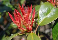 Vurige bloem in de knop (Gebba1) Tags: red flower rouge spring bud lente rood printemps frhling bloem