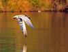 Caspian Tern Flying With Fish (ozoni11) Tags: sunset lake bird nature birds interestingness nikon lakes explore tern goldenhour columbiamaryland d300 terns 418 caspiantern wildelake interestingness418 i500 michaeloberman caspianterns explore418 ozoni11