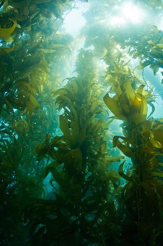 Tall Kelp
