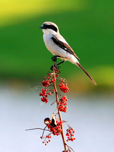 Loggerhead Shrike 20090416