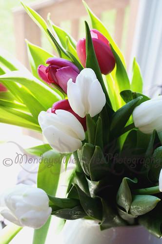 White & Pink Tulips 2