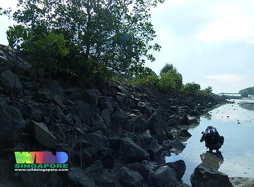 Mangroves on the seawall on Pulau Hantu