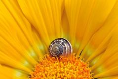 Sorry...I'm sleeping..! (zio paperino) Tags: light flower macro nature yellow geotagged petals nikon snail natura explore giallo lumaca frontpage calabria naturesfinest d90 ziopaperino mygearandme mygearandmepremium mygearandmesilver mygearandmegold