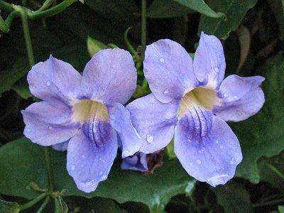 20090425-rq-Quinta Jardins do Lago-5 Thunbergia laurifolia
