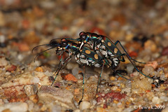 2.29 Tiger beetle Cicindelephilia