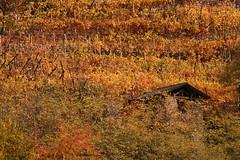 Vigneto (pgi) Tags: foglie casa italia autunno trentino baito vigneto viti campanga canzolino