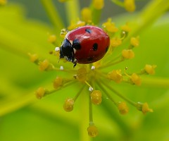 Lost in space ! (Ilias Orfanos) Tags: red macro green closeup bokeh ngc olympus greece ladybug breathtaking flickrsbest superaplus aplusphoto colourartaward multimegashot breathtakinggoldaward 100commentgroup amazingmacros superamazingmacrosaward artofimages bestcapturesaoi mygearandmepremium mygearandmebronze mygearandmesilver mygearandmegold mygearandmeplatinum mygearandmediamond vigilantphotographersunite vpu2