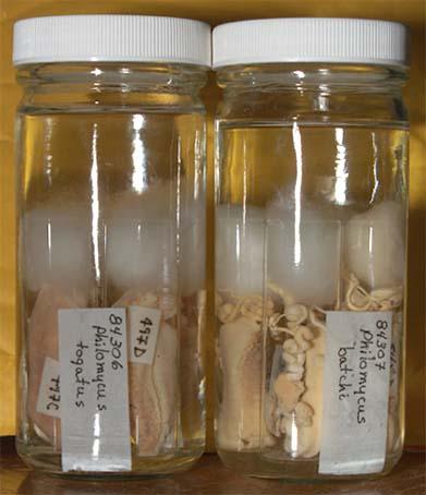 PickledPhilomycus2