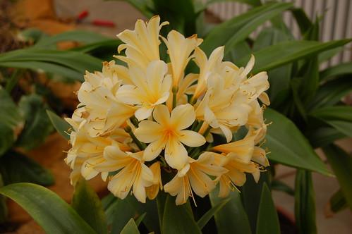 Clivia miniata forumul-florilor - Pagina 2 3508835098_210b689199