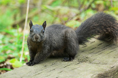 Squirrel in High Park