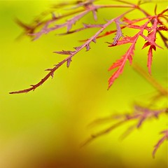 Quanta Qualia (bahketni) Tags: red nature yellow japanese maple raw bokeh explore frontpage joss exceptional hayleywestenra quantaqualia