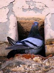 pigeon (gureu) Tags: sardegna italy bird fly holidays sardinia pigeon wwf lipu birdwathcing mmmilikeit