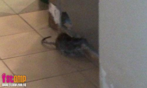 Rats run wild in Woodlands Circle!