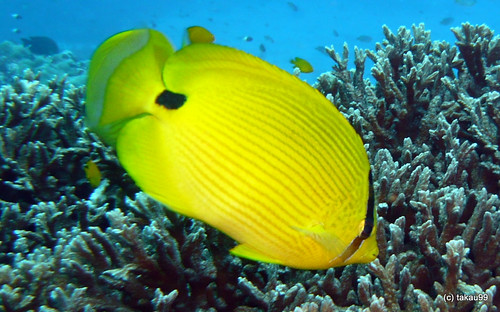 Andaman butterflyfish, Similan Thailand