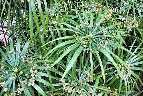 Cyperus involucratus (rq) - 02