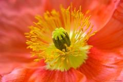 Heart Core (Kausthub) Tags: flowers orange plants macro yellow stamen core flowe canoneos1dmarkiii mywinners platinumphoto canonefllens canonef24105mmf4isusmllens