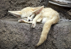 Fennec fox (floridapfe) Tags: sleeping animal zoo nikon korea fox fennec everland fennecfox mywinners