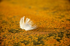 White feather on rust