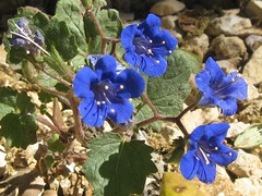 Ojai Blue (Fullofheart) Tags: california flowers blue flower leaves stem rocks small stamen pollen southerncalifornia ojai dainty simplythebest smallflowers petels