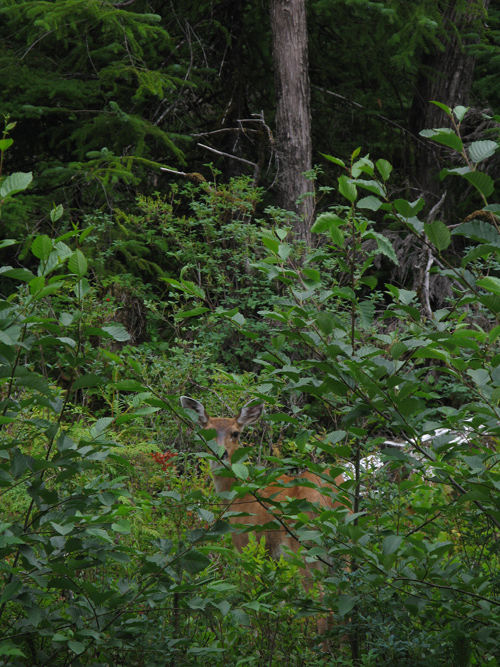 a deer among trees near Hydaburg, Alaska