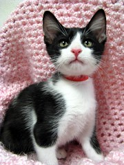 Meet Max, a Darling Little Boy Tuxedo, Black Mask & Butler Kitten (Pixel Packing Mama) Tags: cute beautiful super furryfriday omg ort heartlandhumanesociety catpix pixelpackingmama furryfridaypool dorothydelinaporter worldsfavorite beautifuluniverse cc100 catcentury montanathecat~fanclubpool spcacatspool cutekittenspool pinkset views101200pool ceruleanthecat~fanclubpool blackmaskkittycatspool tuxedocatspool tuxedokittiespool cutecatsandcuddlykittenspool reallyunlimitedpool theredmakesitwithoutdominatingpool centurianclub100200viewspool beautifulcatspool blackcatkizzypool allcatsallowedpool furrycatfriendspool furryfuncutefunnyanimalspool maskedblackcatspool favupset butlercatspool cuteandfurrymammalscuteyfurrymamiferospool furrificcatspool blackandwhiteanimalsbirdsetcpool canonpowershota720isiiistart070109set thecorvallisoregonyearspart8set uploadedsecondhalfof2009set canonallcanoniii~start070109set favoritedpixvoliii~2ndhalfof2009set blackandwhitewhiteandblackwanttoseepool favup081909 moved123109fromfavupsettofavoritedpixvoliii~2ndhalfof2009set pixelpackingmama~prayforkyronhorman oversixmillionaggregateviews over430000photostreamviews