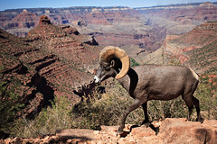 Grand Canyon Wildlife II (eoscatchlight) Tags: arizona sheep wildlife grandcanyon canyon ram brightangeltrail specanimal theperfectphotographer grandcanyonwildlife luxtop100