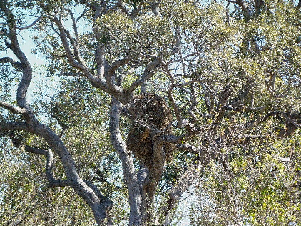 DSC07778 Hamerkop Nest