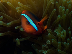 Tomato anemonefish (Paul Flandinette) Tags: ocean fish photography underwater clownfish anemonefish layanglayang underwaterphotography nemofish amphiprionfrenatus tomatoanemonefish cutefish beautifulfish paulflandinette